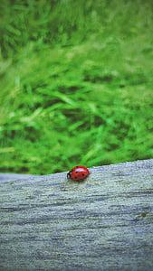 màu đỏ, Lady, lỗi, bọ rùa, Ladybird, côn trùng, gỗ