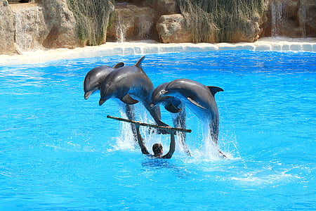 dofins, Visualització prèvia, Delfin, ramat, salt, delfinari, Immersió