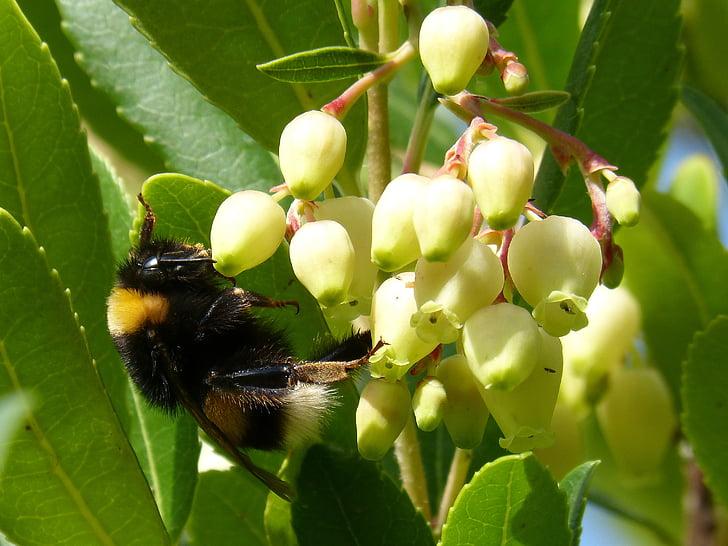 bumblebee, drone, strawberry tree, arbutus flower, libar