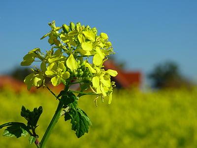 sinep, väetis, kollane, taim, õis, Bloom, loodus