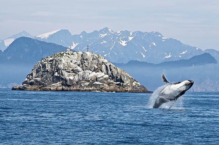Baleine à bosse, violant, océan, mammifère, animal, mer, baleines à fanons
