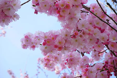 japanese cherry trees, flowers, japanese flowering cherry, ornamental cherry, japanese cherry, cherry blossom, blossom