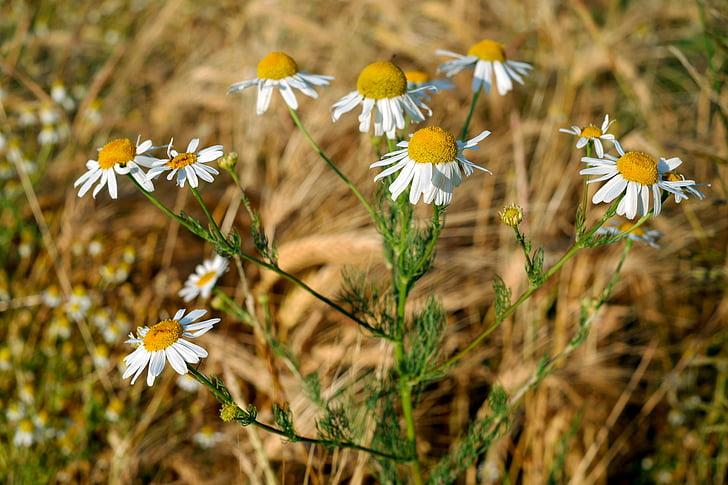 Kamilica, zdravilna rastlina, zdravilna rastlina, naturopathy, cvet, cvet, narave