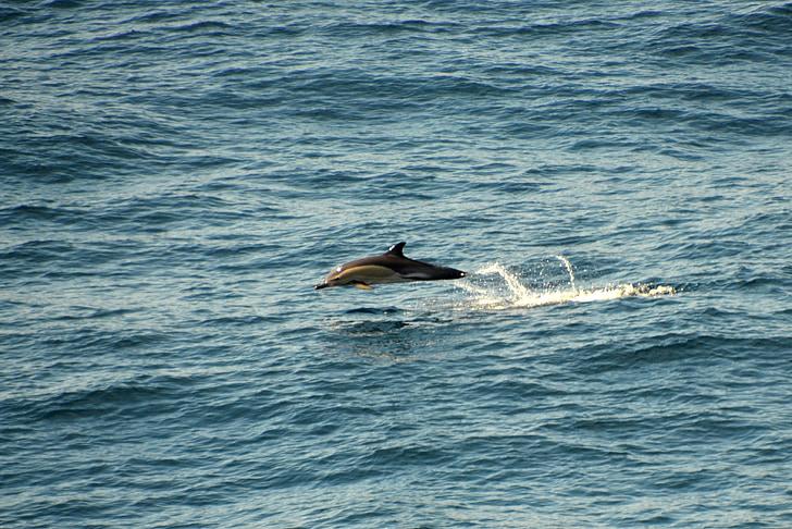 Dofí, Atlàntic, meeresbewohner, criatura d'aigua, mamífers marins, oceà, dofins