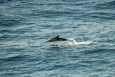 Dauphin, Atlantique, meeresbewohner, créature aquatique, mammifères marins, océan, dauphins