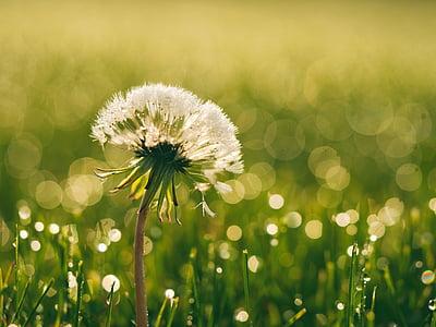 Блум, Блоссом, Одуванчик, росы, Флора, цветок, HD обои