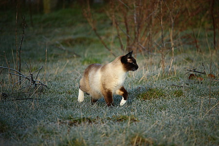cat, siamese cat, siamese, kitten, winter, frost, mieze