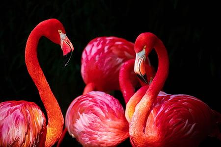 plamenac, Phoenicopterus, plamenci, phoenicopteriformes, Karipski plamenac, Phoenicopterus ruber, Crveni