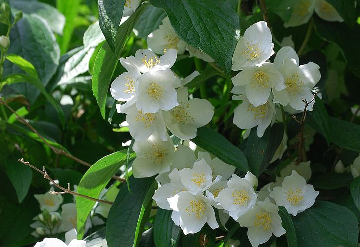 Syringa vulgaris, Mock orange, fleur, arbuste, gros plan, parfum, blanc