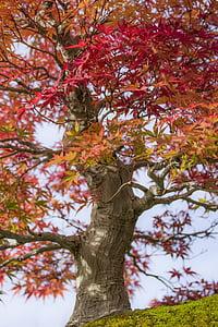 bonsai, maple, japan maple, acer palmatum, wood, nature, japan garden