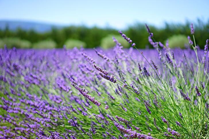 Levanda, levandų laukas, levandų gėlės, mėlyna, gėlės, violetinė, dunkellia