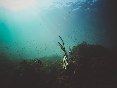 school, fish, underwater, seaweed, sea, blue ocean, dive light