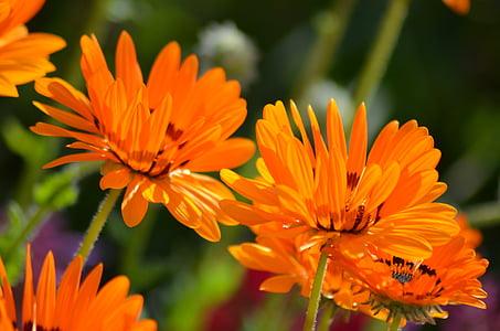 lill, loodus, õietolm, suve lilled, Oranž õis, kroonlehed, Aed