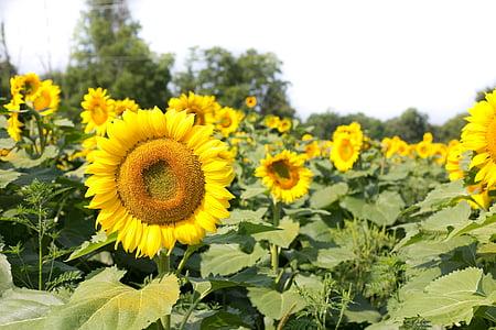 sunflowers, field, flowers, summer, sunflower, yellow, nature