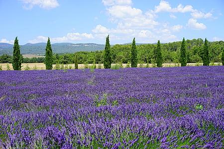 levandų laukas, kiparisas, Avenue, levandų gėlės, gėlės, violetinė, floros