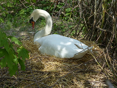 swan, breed, nest, swan's nest, animal