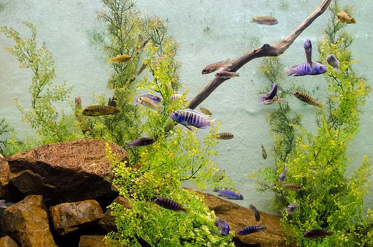algues, Aquari, Biologia, ecosistema, aletes, peix, brànquies