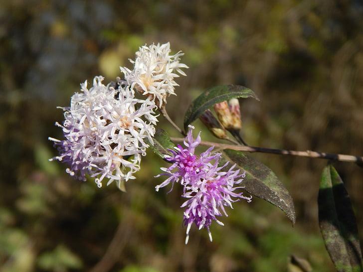 kwiat, liliowy, dziki, fioletowy, kwiaty bzu, Dziki kwiat