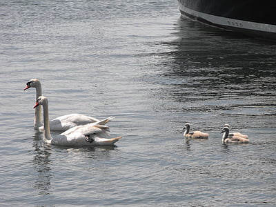 swans, water, wildlife, family, bird, nature, cygnet