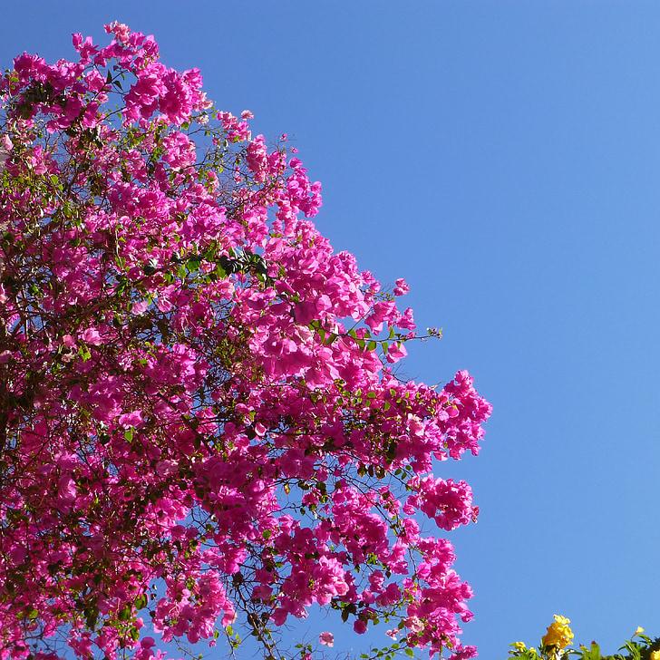 Бугенвиль, Роза, мне?, Лето, Цветы, небо, Голубой