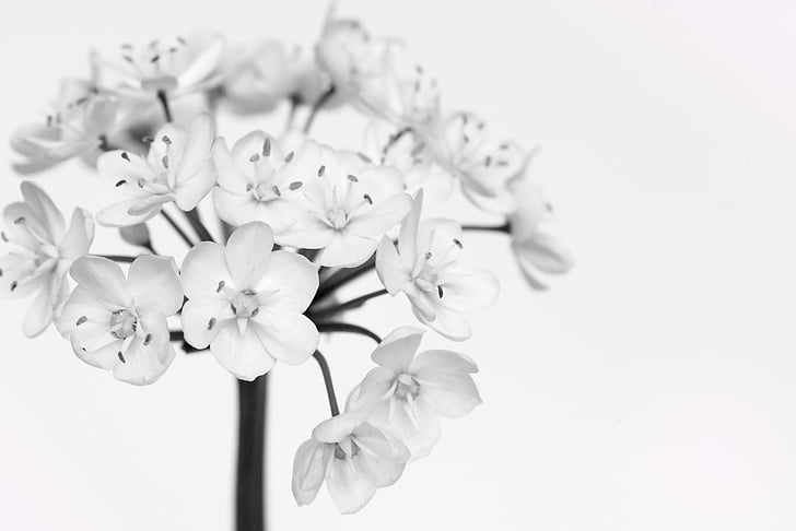 leek blossoms, white, white flowers, flower, black and white recording, close