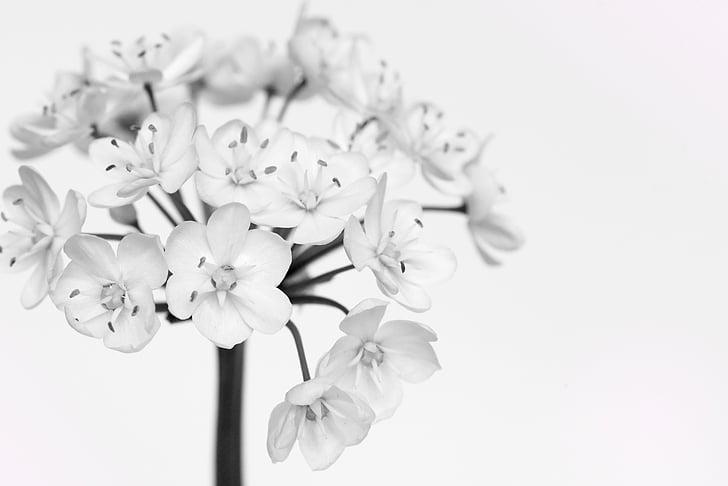 porru õied, valge, valged lilled, lill, must ja valge salvestamine, Sulgege