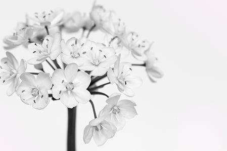 Цветет лук-порей, Белый, белые цветы, цветок, черно-белая запись, закрыть