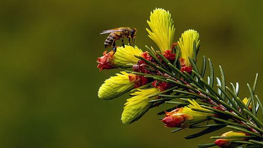 fir, fir green, tree blossom, garden, green, nature, tree