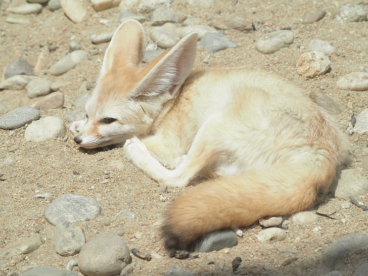desert fox, zoo, desert