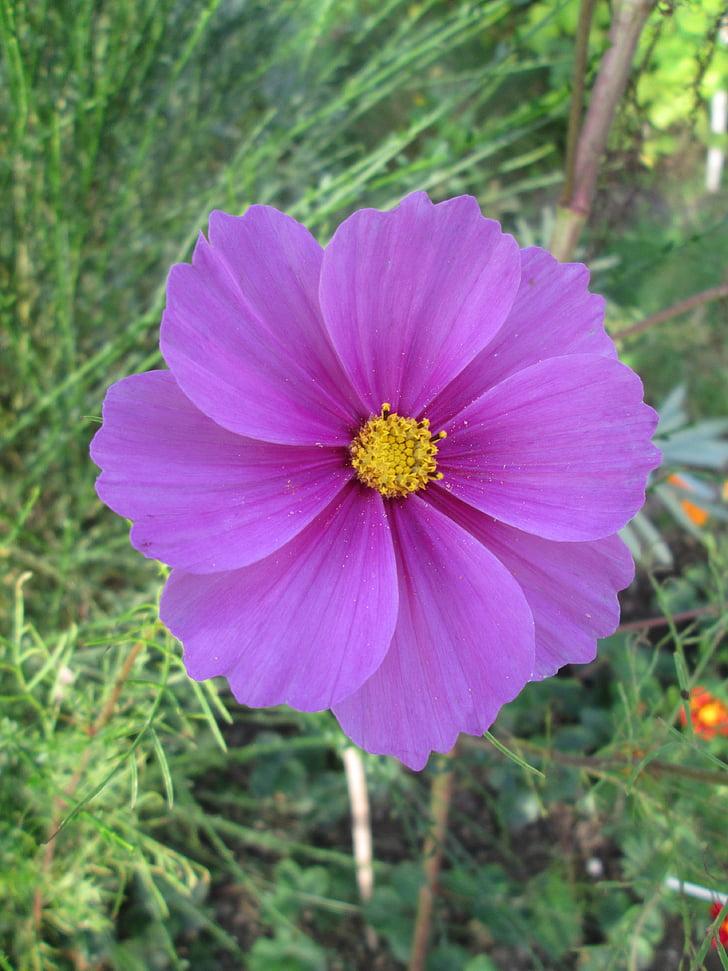 cosmos, cosmea, flower, blossom, bloom, purple, nature