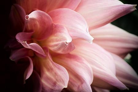 flower, macro, garden, blossom, pink, floral, petal