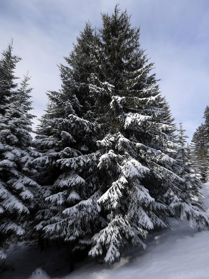 kuusen, lumi, luminen, talvi, kuusien, Talvinen, kiva sää
