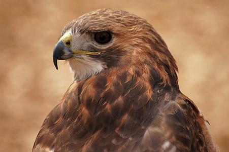 Hawk, lintu, Luonto, luonnollinen, yhdysvaltalainen, Raptor, Wildlife