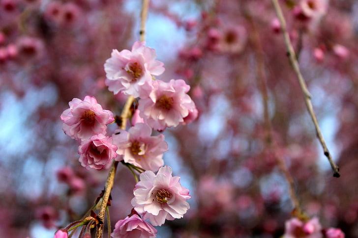 cherry blossom, flowers, nature, pink, springtime