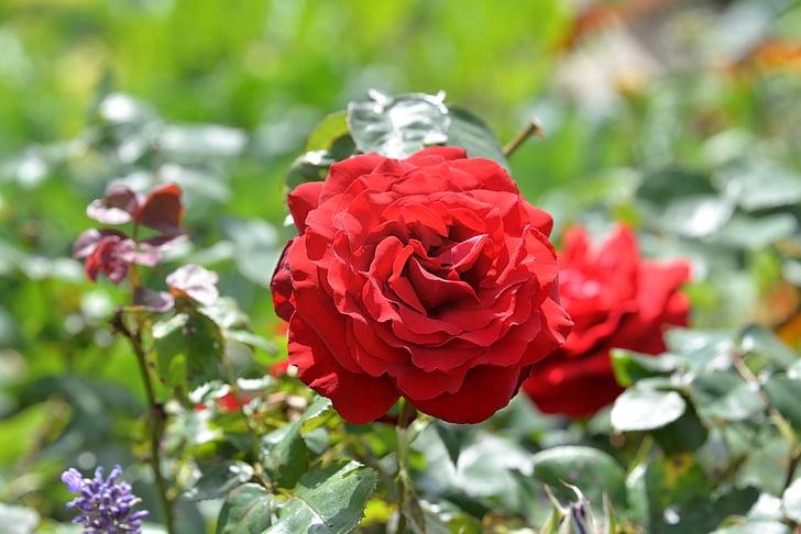 Cveće - Page 21 Rose-red-garden-rose-bloom-preview
