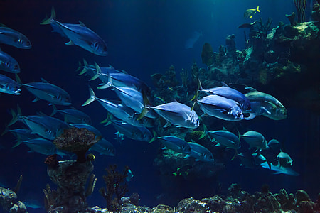 životinja, akvarij, vodeni, plava, koraljni, tamno, duboko