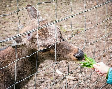 Roe deer, nguồn cấp dữ liệu, ăn, hoang dã, sở thú, công viên động vật hoang dã, Deer park