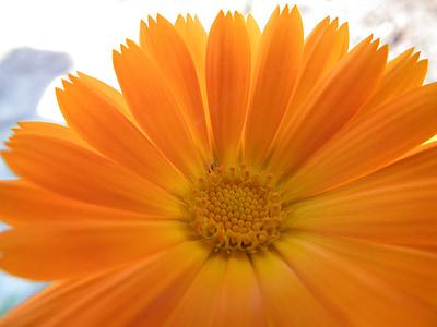 gėlė, oranžinė, Medetkų, šviesus, sodo gėlės, vasaros, vasaros gėlės