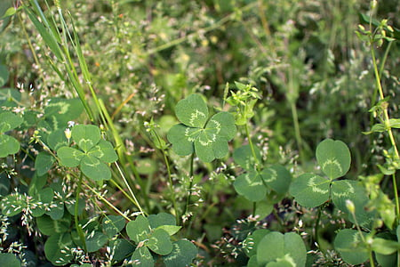 Καλή τύχη, τριφύλλι, το τριφύλλι, πισίνα, πράσινο, φύση, φυτά