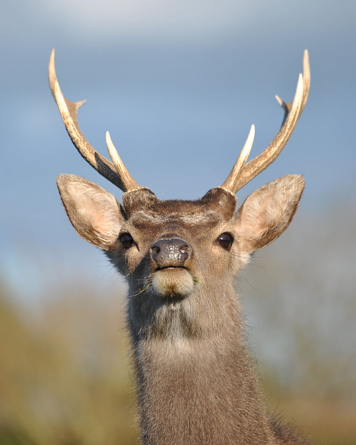 鹿, クワガタ, ニホンジカ, 野生動物, 動物, 自然, 野生の動物