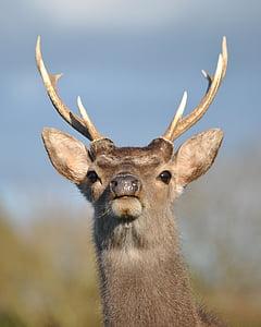 사슴, 사슴, 시카, 야생 동물, 동물, 자연, 야생 동물