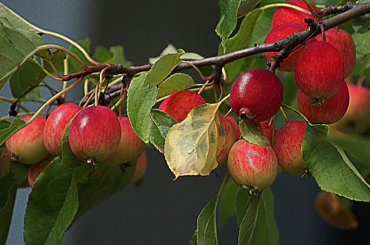 apples, paradise tree, small apples, branch with apples, fruiting tree, fruitful apple tree, fruit on the tree