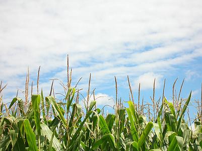 blat de moro, camp de blat de moro, plantació, camp