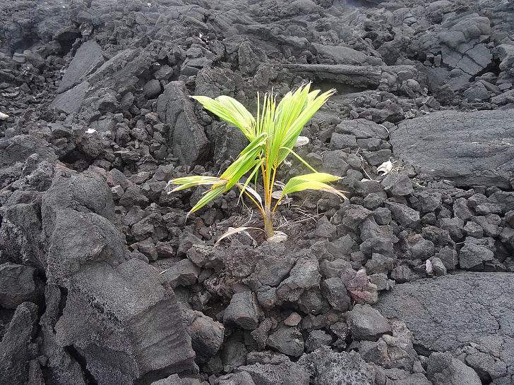 nou començament, renta, natura, planta, volcànica, créixer, Palma