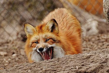 fuchs, wildpark poing, animal, wildlife photography, nature, animal world, animal portrait