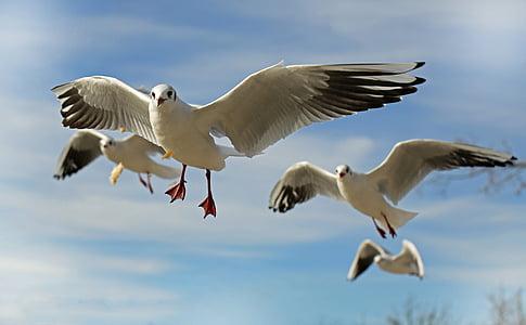 Seagull, fågel, djur, fluga, Stäng, kusten, vatten fågel