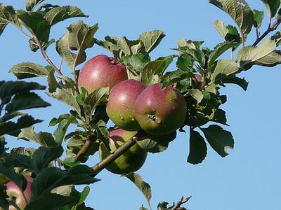 яблоко, Яблоня, красный, Осень, витамины, Фриш, здоровые