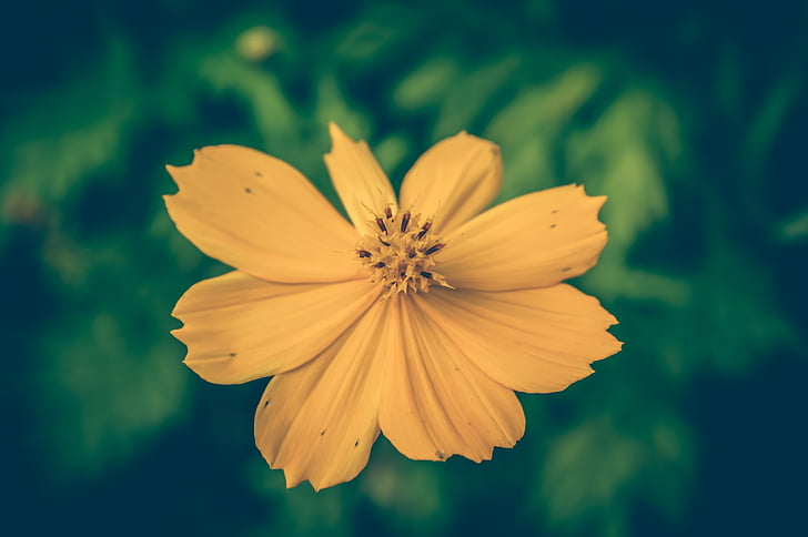 cosmea, vintage, flower, background, floral, beautiful, old