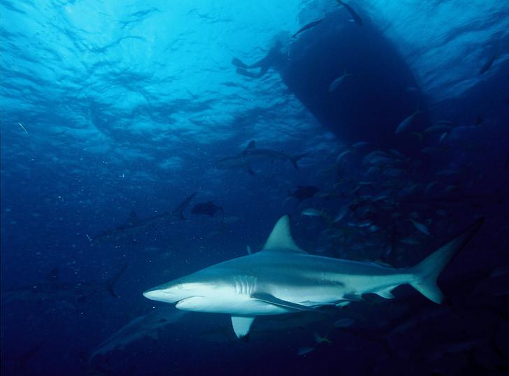 shark, blacktip shark, predator, swimming, tropical, subtropical, carcharhinus limbatus