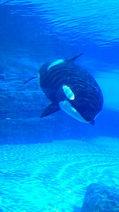 orca, killer whale, whale, water, marine, underwater